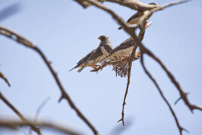 Finch Photograph - Zebra Finches-central Australia by Douglas Barnard