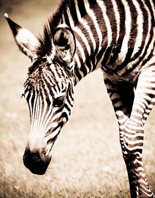 Zebra Foal Sepia Tones Art Print