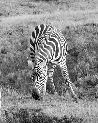 Nirvana - Zebra Front View by Richard Balison