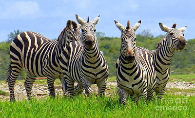 Photograph - Zebra Gang by Rachel Munoz Striggow