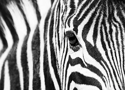 Zebra Gaze Art Print