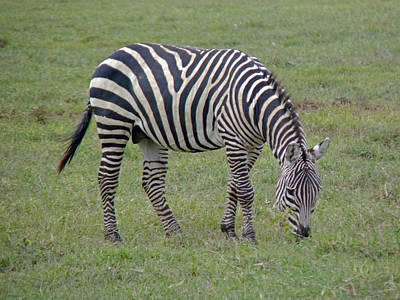 Photograph - Zebra Grazing by Tony Murtagh