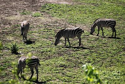 Photograph - Zebra Group by Mark McReynolds
