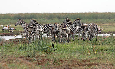 From The Kitchen - Zebra Group by Tony Murtagh
