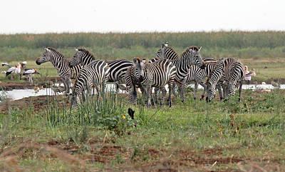 Photograph - Zebra Group by Tony Murtagh