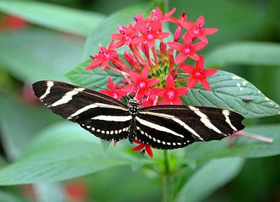 Photograph - Zebra Heliconian Butterfly by Richard Bryce and Family