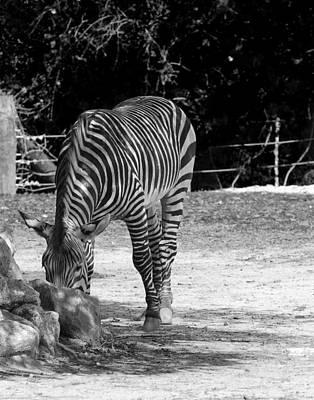 Zebra II Art Print