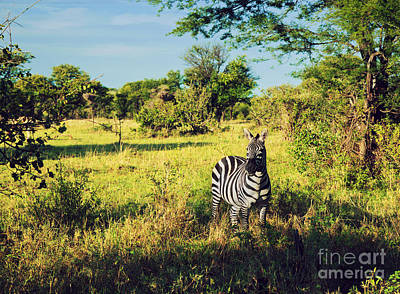 Zebra In Grass On African Savanna. Art Print by Michal Bednarek