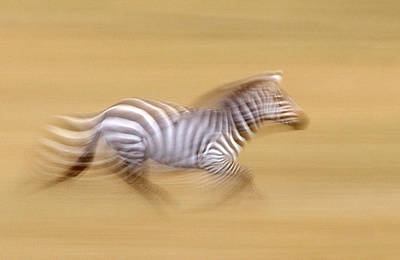 Zebra In Motion Kenya Africa Art Print