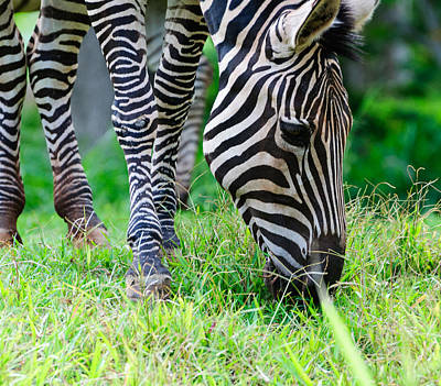 Photograph - Zebra by John Johnson