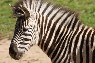 Photograph - Zebra by Keith Swango