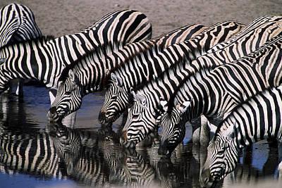 Zebra Line Art Print by Stefan Carpenter