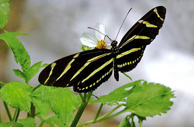 Photograph - Zebra Longwing Butterfly. by Chris  Kusik