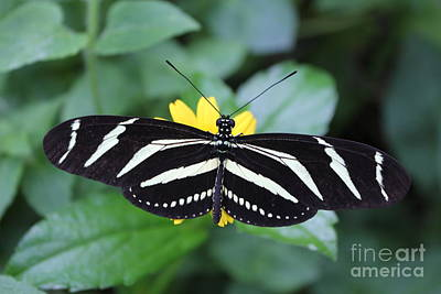 Photograph - Zebra Longwing Butterfly by David Grant