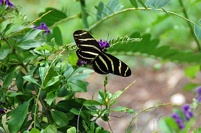 Photograph - Zebra Longwing Butterfly Floral by Aimee L Maher Photography and Art Visit ALMGallerydotcom