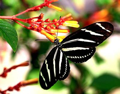 Photograph - Zebra Longwing Butterfly by Ira Runyan