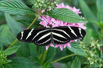 Photograph - Zebra Longwing Butterfly by John Black