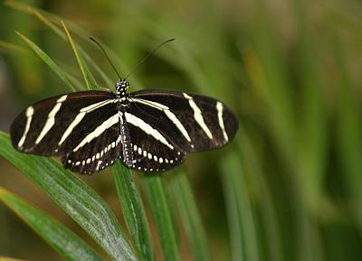 Photograph - Zebra Longwing Butterfly by Living Color Photography Lorraine Lynch