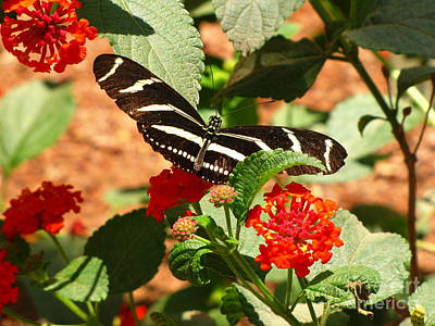 Photograph - Zebra Longwing Butterfly by Marilyn Smith