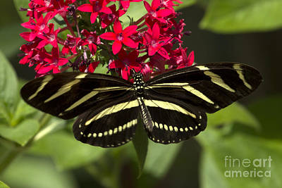 Photograph - Zebra Longwing Butterfly by Meg Rousher