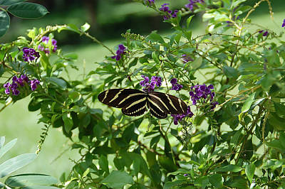 Zebra Longwing Butterfly On Flower Print by Aimee L Maher Photography and Art Visit ALMGallerydotcom