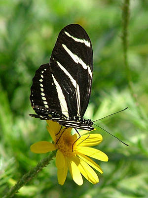 Photograph - Zebra Longwing Butterfly On Yellow Daisy - 109 by Mary Dove