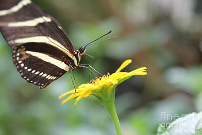 Photograph - Zebra Longwing Butterfly On Yellow Flower by David Grant