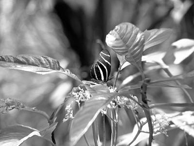 Photograph - Zebra Longwing by David Weeks