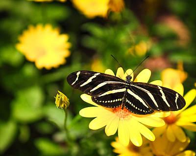 Photograph - Zebra Longwing II by Diane Wood