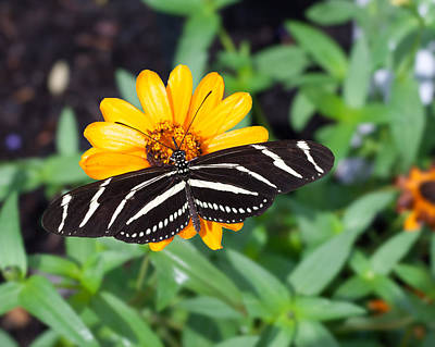 Photograph - Zebra Longwing by Michael Porchik