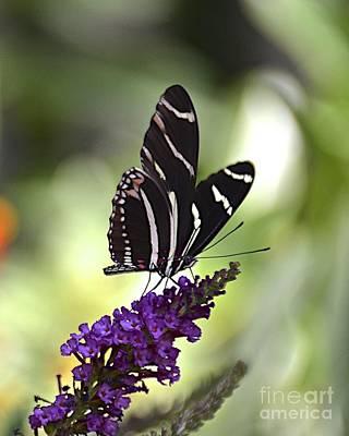 Photograph - Zebra Longwing On Butterfly Bush by Carol  Bradley