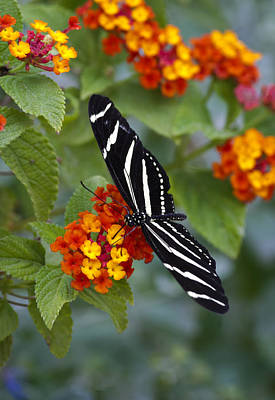 Photograph - Zebra Longwing On Lantana by Saija  Lehtonen
