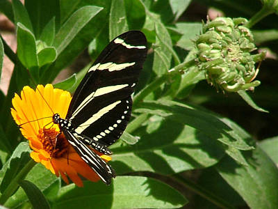 Photograph - Zebra Longwing On Orange Flower - 105 by Mary Dove