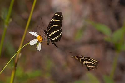 Photograph - Zebra Longwings by Paul Rebmann