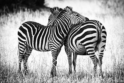 Monochrome Photograph - Zebra Love by Adam Romanowicz