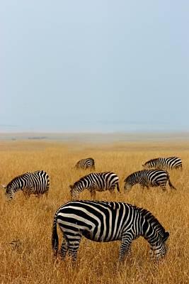 Of Zebra Grazing Photograph - Zebra Maasai Mara by Amanda Stadther