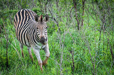 Photograph - Zebra by Maria Coulson
