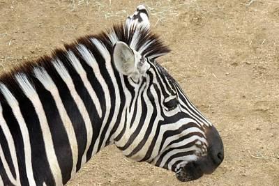 Photograph - Zebra by Marilyn Burton