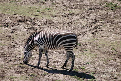 Photograph - Zebra by Mark McReynolds