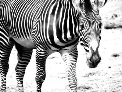 Photograph - Zebra by Michelle Calkins