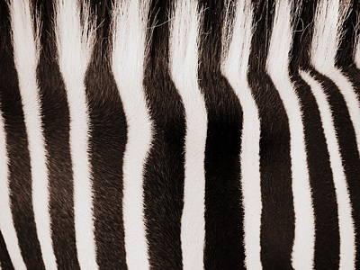 Photograph - Zebra Mohawk by Ramona Johnston