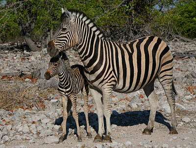 Zebra Mother And Baby Art Print