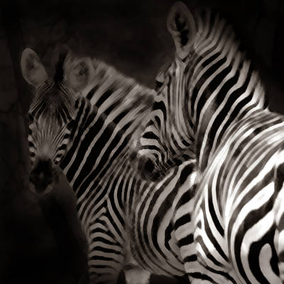 Photograph - Zebra Night by Joseph G Holland