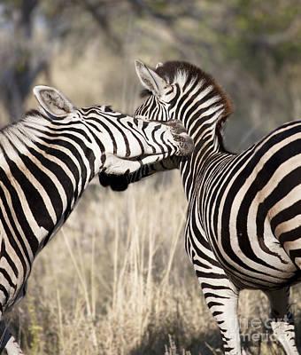 Zebra Photograph - Zebra Nuzzle by Liz Leyden