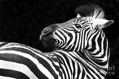Photograph - Zebra - Oblio Jr. by Sonya Lang