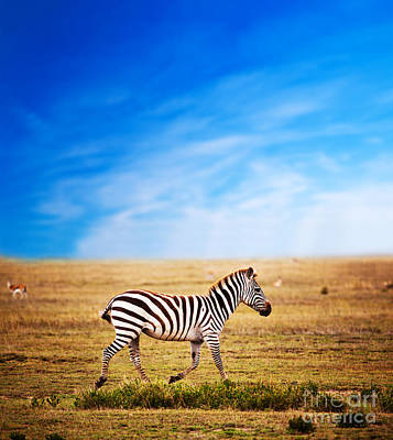 Zebra On African Savanna. Print by Michal Bednarek