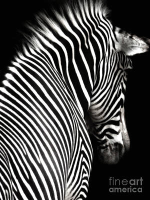 Zebra On Black Art Print
