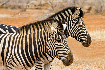 Photograph - Zebra Pair 2 by Phil Stone