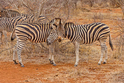 Photograph - Zebra Pair 3 by Phil Stone