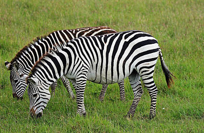 Zebra Pair Art Print